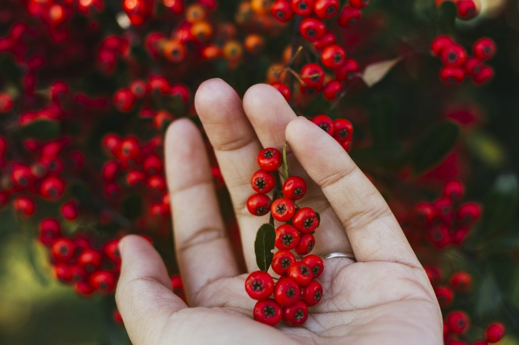 cranberries in palm of hand pixabay