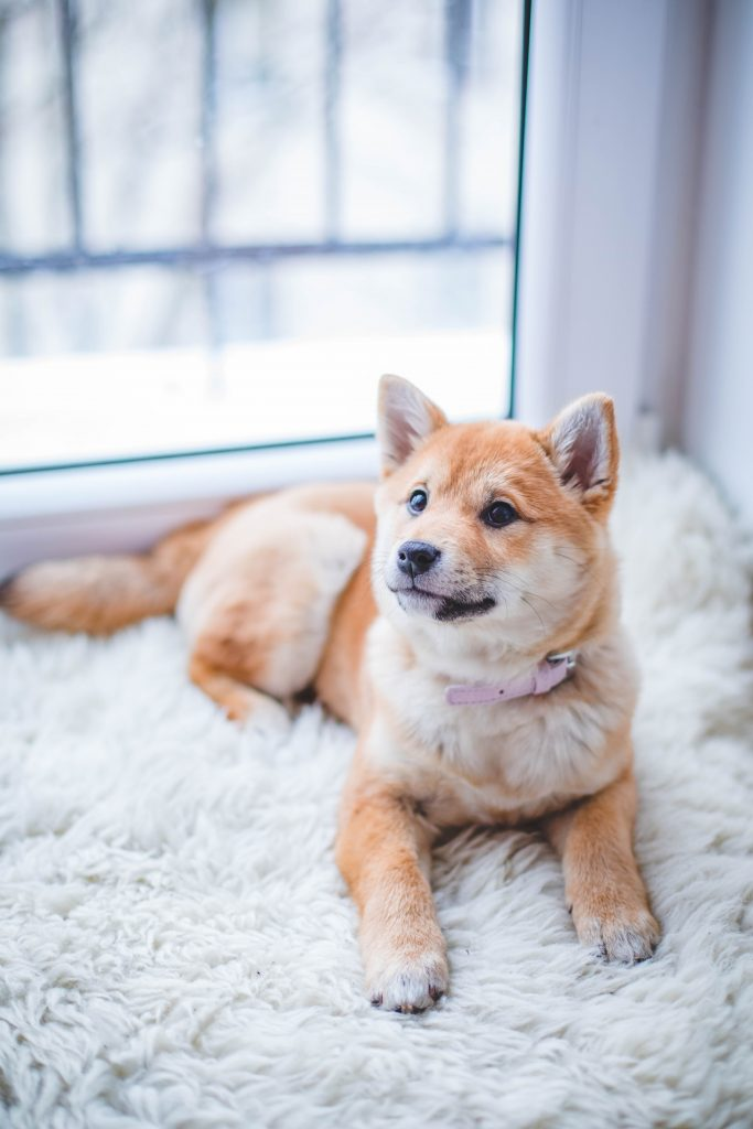 cute happy shiba posing on rug