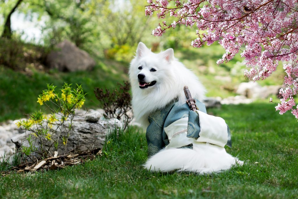 white dog in samurai costume with sakura in background