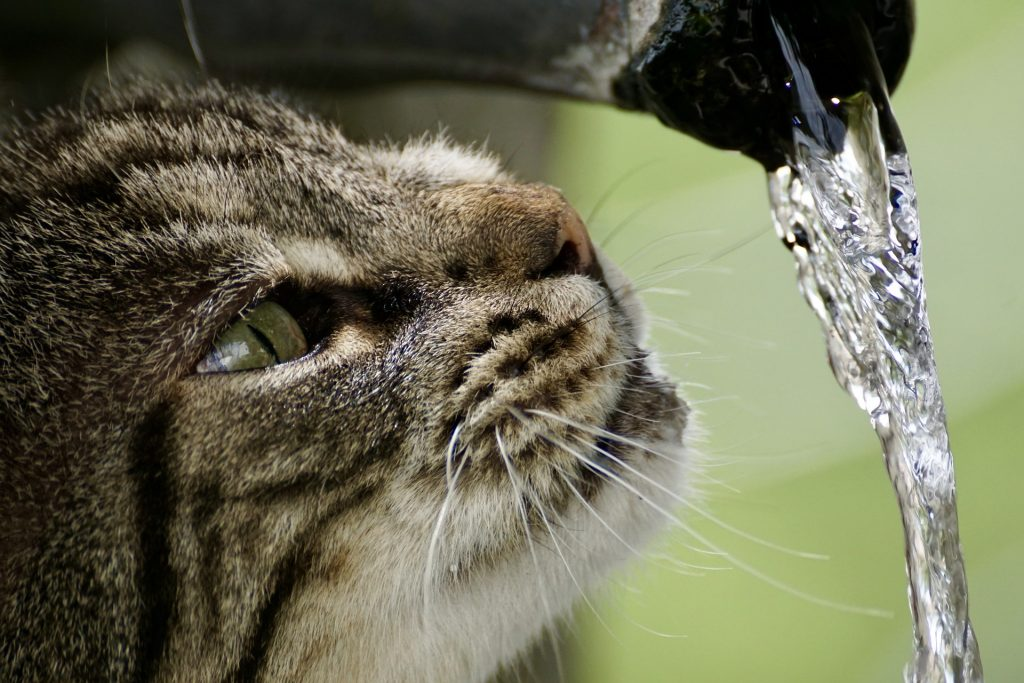 cat looking at running water pixabay guide to pet dehydration