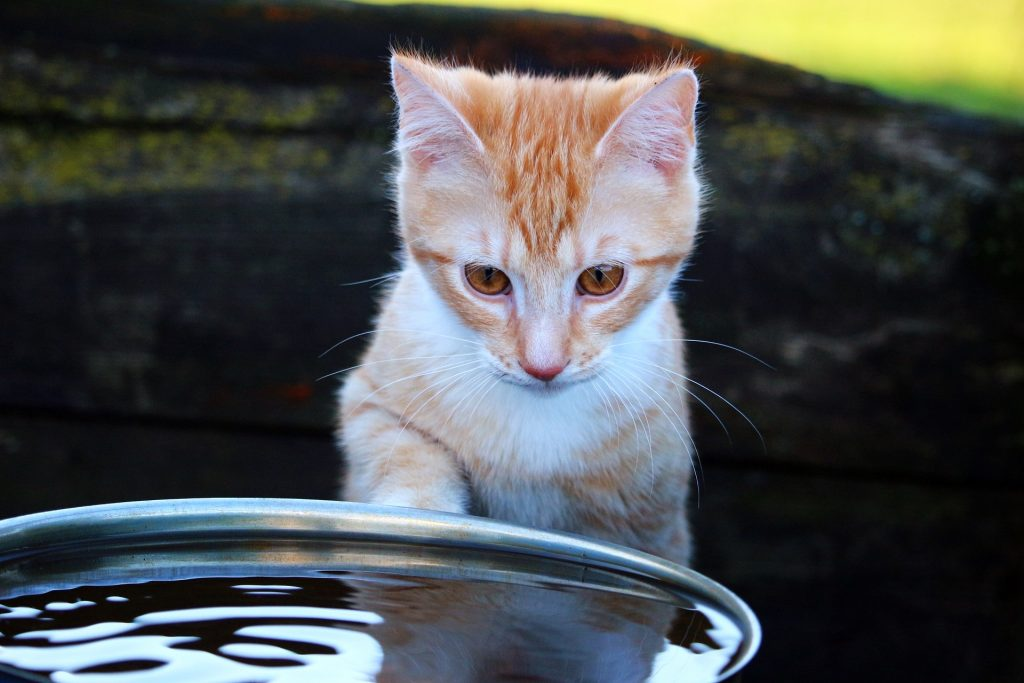 kitten with water basin pixabay guide to pet dehydration