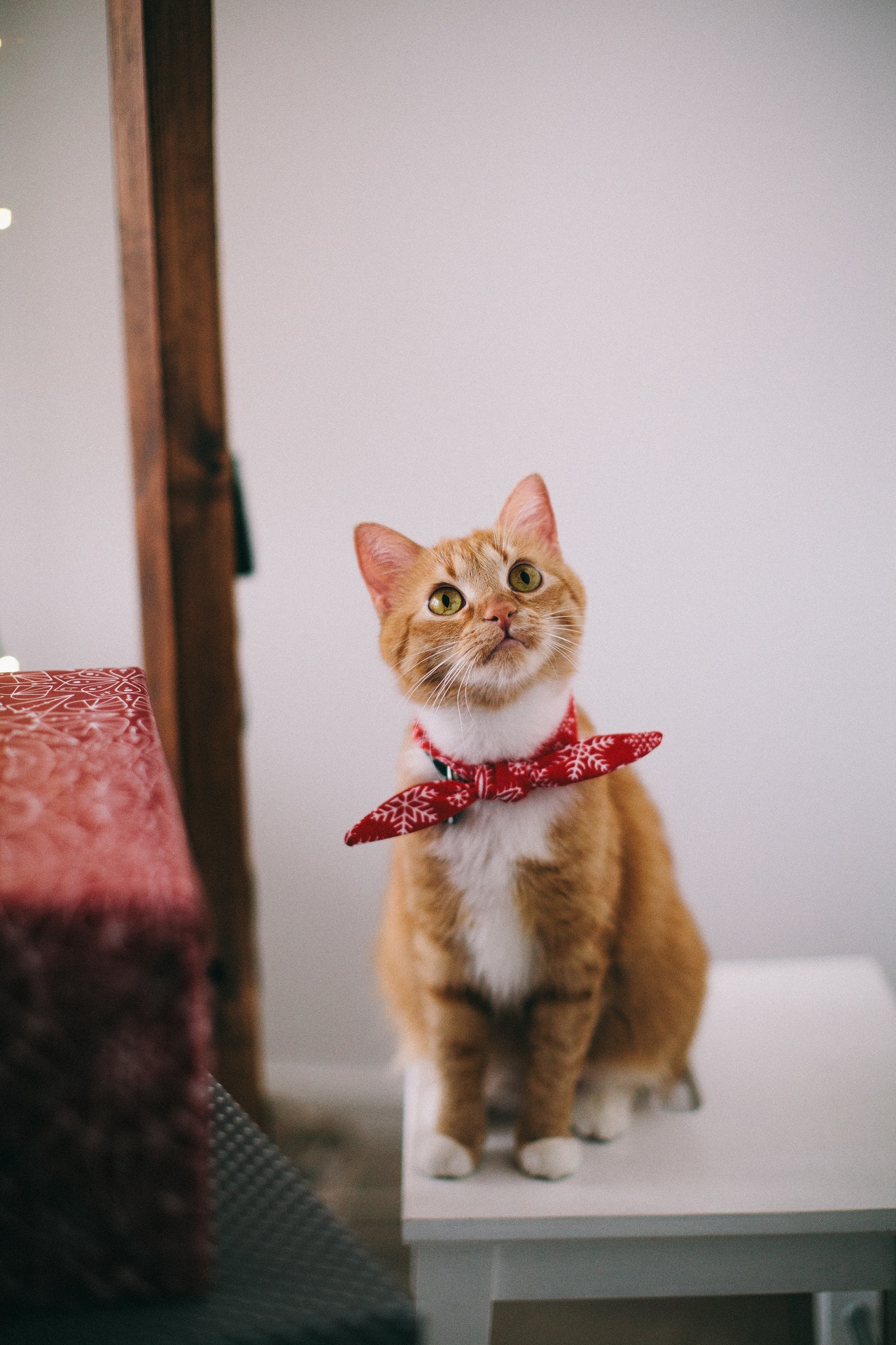 cute tabby with red neck scarf on chair Lina Kivaka pexels