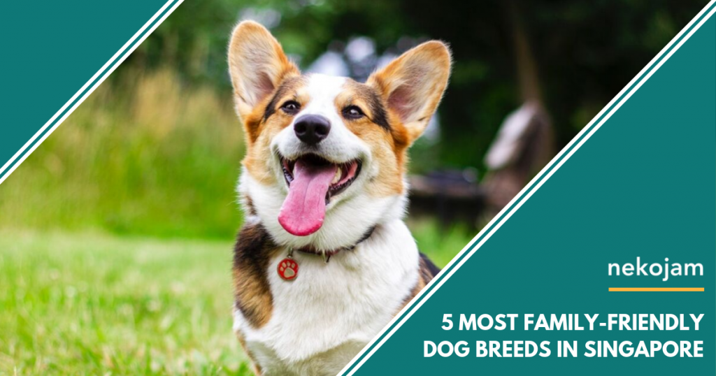 cute corgi Most Family-Friendly Dog Breeds In Singapore featured image